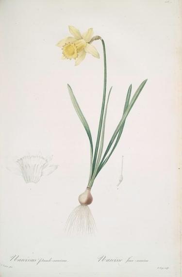 botanical drawing of a daffodil