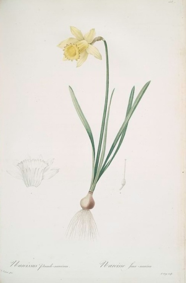 botanical drawing of a daffodil