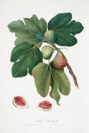 botanical drawing of a type of fig showing four figs on a branch with four leaves and a halved fig at the bottom of the drawing showing the inside of the fruit