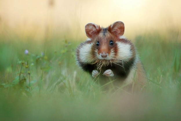wild hamster with full cheeks
